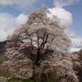 満開、駒桜