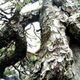 太古の老大木