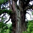 杉沢の大杉、幹