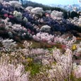 満開、花見山