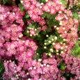 赤花サンザシ
