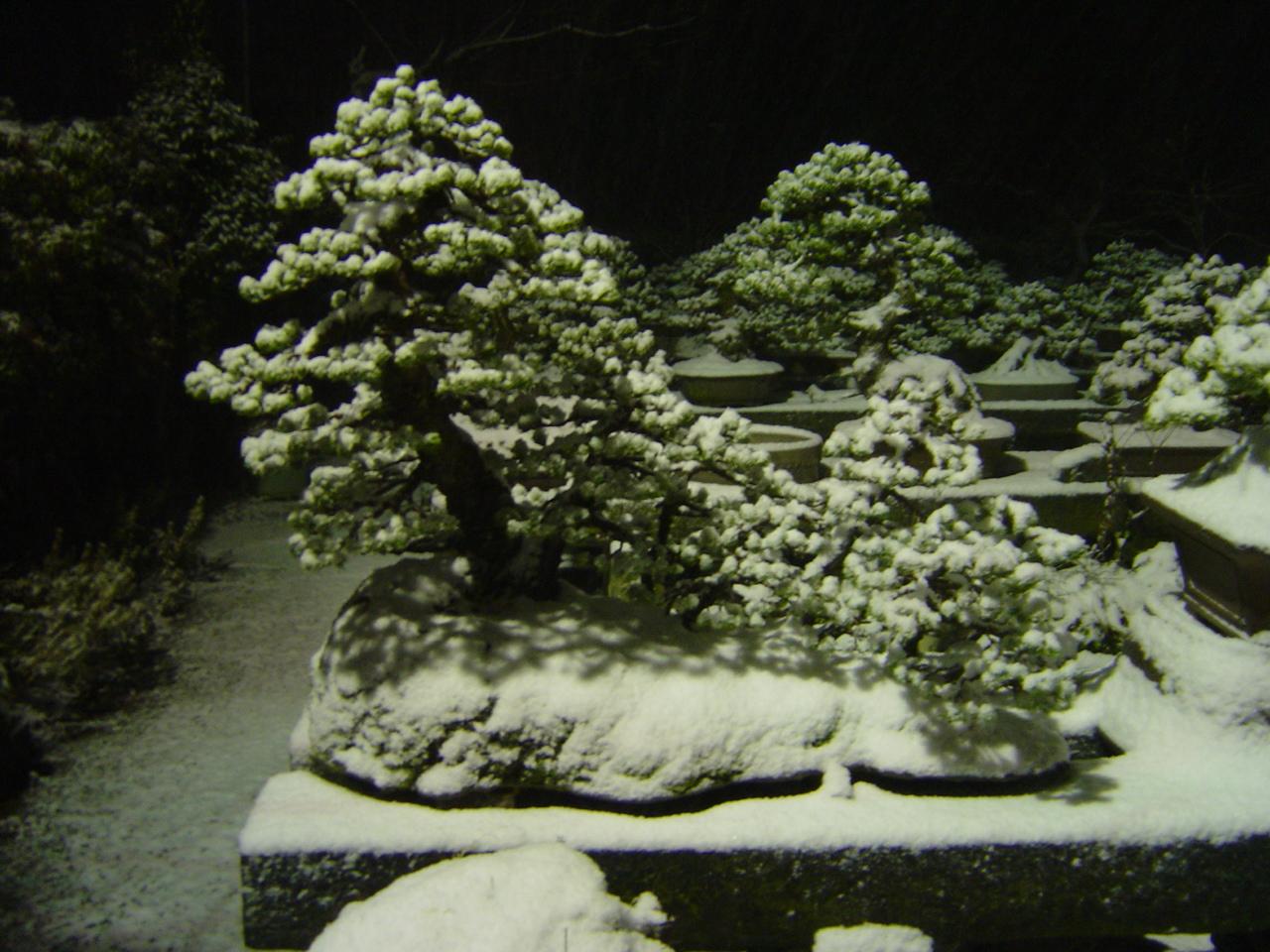 雪夜の株立ち