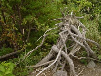 吾妻五葉松、天然の根上がり