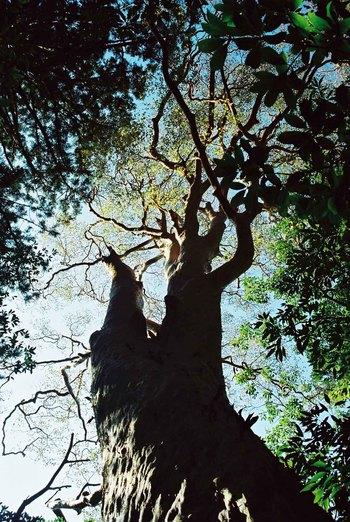 屋久島のヒメシャラ、老大木
