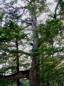吾妻山 米栂原生林の中の五葉松 大木